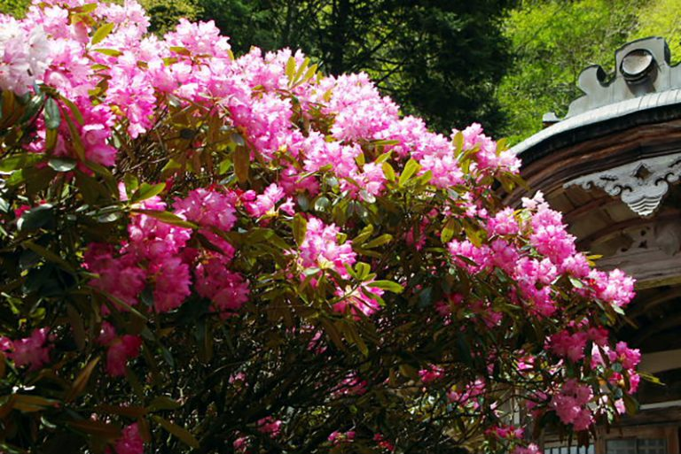 a rhododendron flower at Tsukinowa-dera on Mount Atago