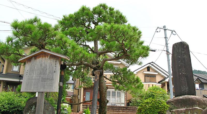Ichijio-ji Sagarimatsu pine tree